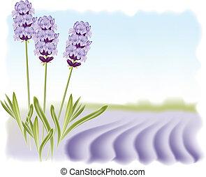 illustration., lavendel, vektor, field., bakgrund, ...