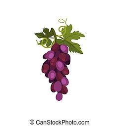 illustration., leaf., winorośl, wektor, winogrona, grono