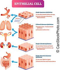 illustration., médico, vetorial, epithelial, celas, diagram., significado, localização