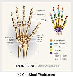 illustration, main, anatomie, vecteur, os humain
