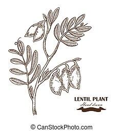 illustration, main, pois chiche, vecteur, dessiné, plant.