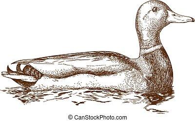 illustration, mullard, canard