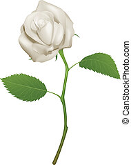 Illustration of a beautiful white rose