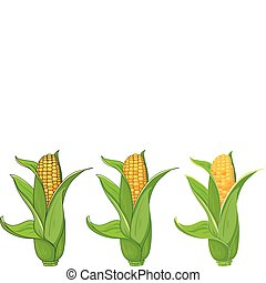 collection corn