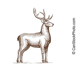 Illustration of a Deer Drawing by hand in vintage engraving style. Deer grunge label, Sticker depicting Reindeer with big horns. Vector.