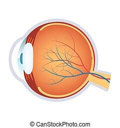 Illustration of a human eye anatomy.