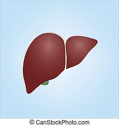 Illustration of a human liver - Realistic vector ...