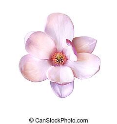 Illustration of a magnolia flower - Vector Illustration of a...