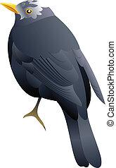white headed black bird