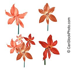 Amaryllis bunch set - Illustration of Amaryllis bunch set