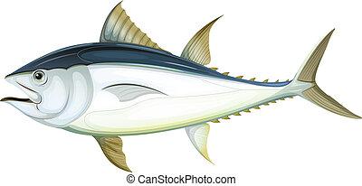 Illustration of an Atlantic bluefin tuna (Thunnus thynnus)