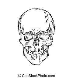 Illustration of anatomical skull isolated on the white...