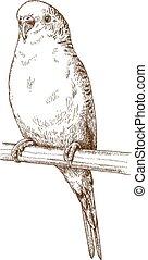 illustration of budgerigar