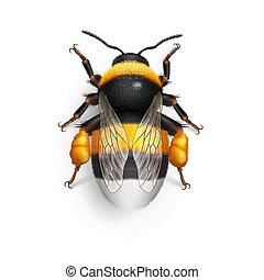 Bumblebee - Illustration of Bumblebee Species Bombus...