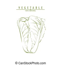 Illustration of chinese cabbage