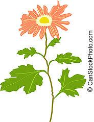Illustration of Chrysanthemum