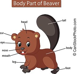 illustration of Diagram showing body part of beaver