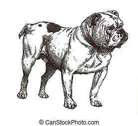 illustration of english bulldog in black and white