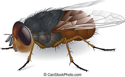 Calliphora augur - Illustration of everyones favorite insect...
