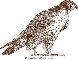 illustration of falcon