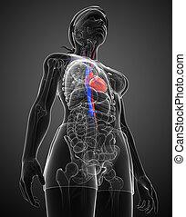 Female heart anatomy