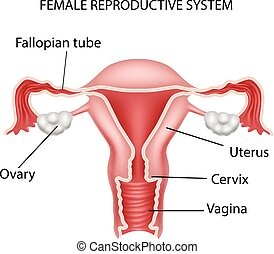Illustration of Female reproductive - Vector illustration of...