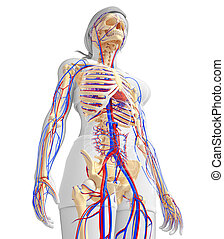female skeletal circulatory system - Illustration of female...