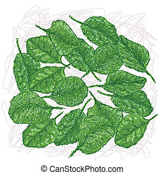 spinach - illustration of fresh spinach leaves isolated in...