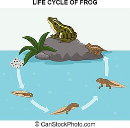 Illustration of frog life cycle - Vector illustration of...