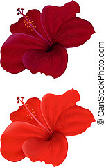 hibiscus - Illustration of hibiscus isolated on white ...