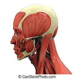 Human Face Anatomy - Illustration of Human Face Anatomy. 3D...