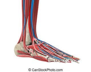 Human Foot - Illustration of Human Foot. 3D render