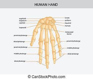 human hand