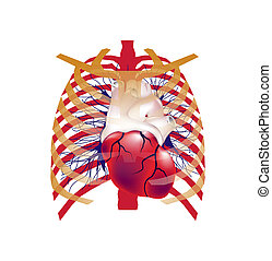 Illustration of human heart in chest.