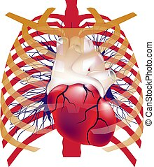 Illustration of human heart in chest