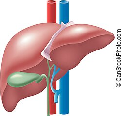 Illustration of Human Liver - Vector illustration of Human ...