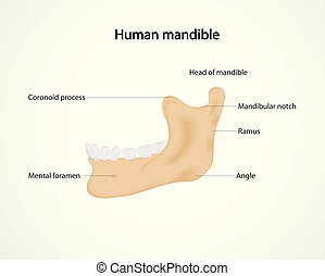 human mandible - Illustration of human mandible
