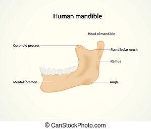 human mandible - Illustration of human mandible