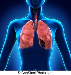 Human Respiratory System - Illustration of Human Respiratory...
