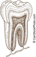 illustration of human tooth - Vector engraving illustration...