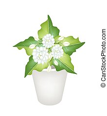 Illustration of Jasmine Flowers in A Flower Pot