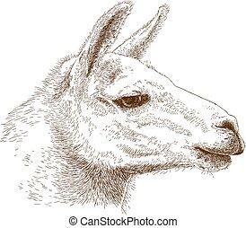 illustration of lama head - Vector antique engraving...