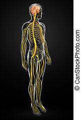 Male nervous system artwork - Illustration of Male nervous ...