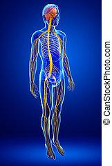 Illustration of Male nervous system artwork