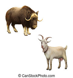 Illustration of musk-ox, Goat standing up isolated on a...