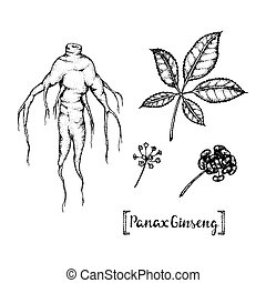 illustration of Panax Ginseng.