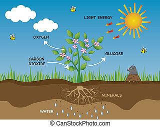 photosynthesis - illustration of photosynthesis in plant