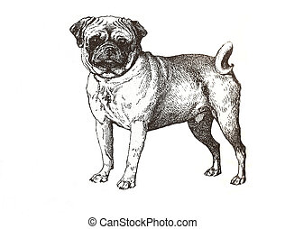 illustration of pug carlin in black and white