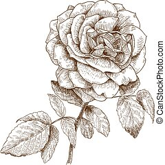 illustration of rose