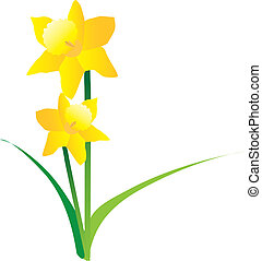 illustration of spring daffodils on a white background -...